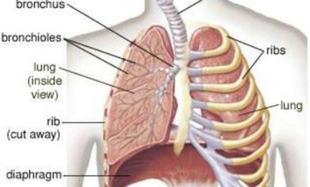 Desain Sistem Pernafasan Manusia