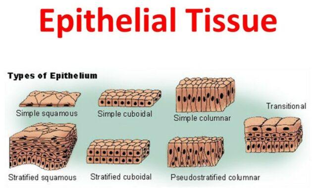 Pengertian, Struktur Dan Fungsi Jaringan Epitel Pada Tubuh
