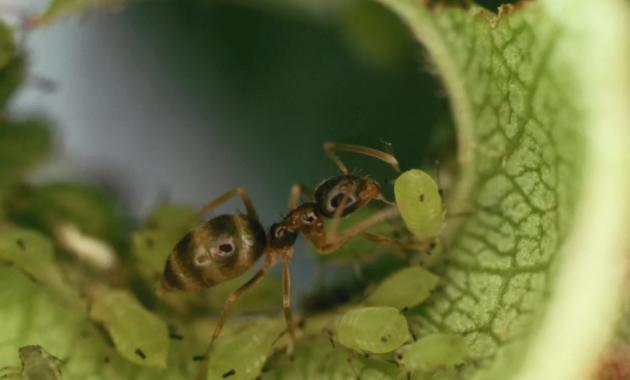 Semut dan Kutu Daun