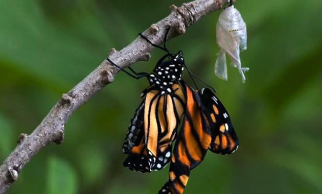 Fase Kupu-kupu (Imago)
