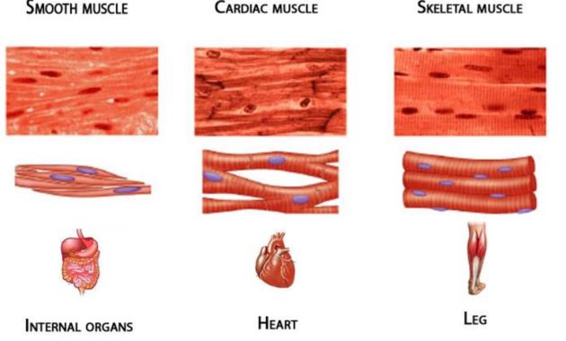 Fungsi Organ Otot