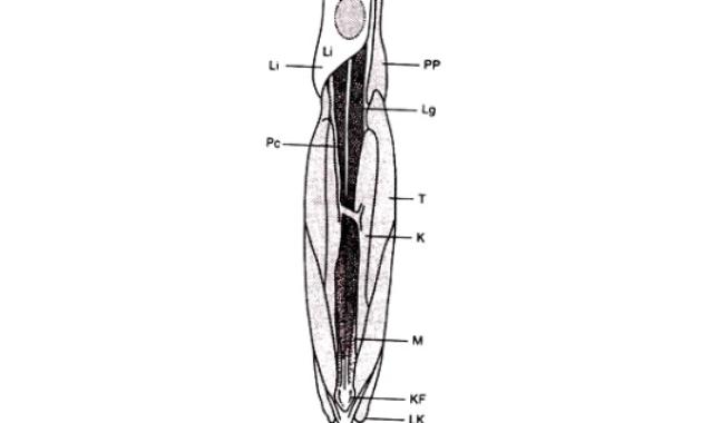 Ikan Jantan