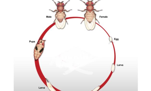 Metamorfosisi lalat