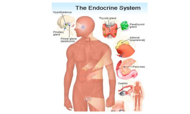 Sistem Endokrin Pada Manusia dan Fungsinya