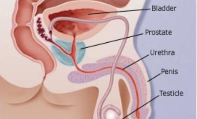 Sistem Reproduksi Pria1